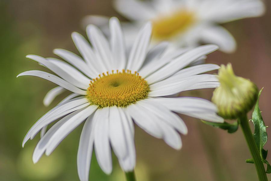 Daisy-Daisy by Ree Reid