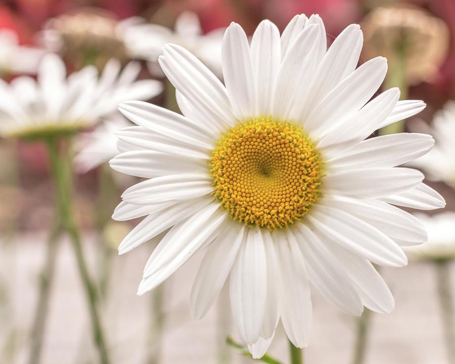 Daisy by Dorothy Cunningham