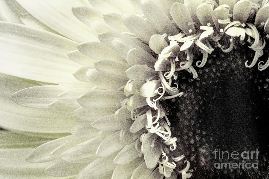 Abstracts Photograph - Daisy Dream by Marilyn Cornwell