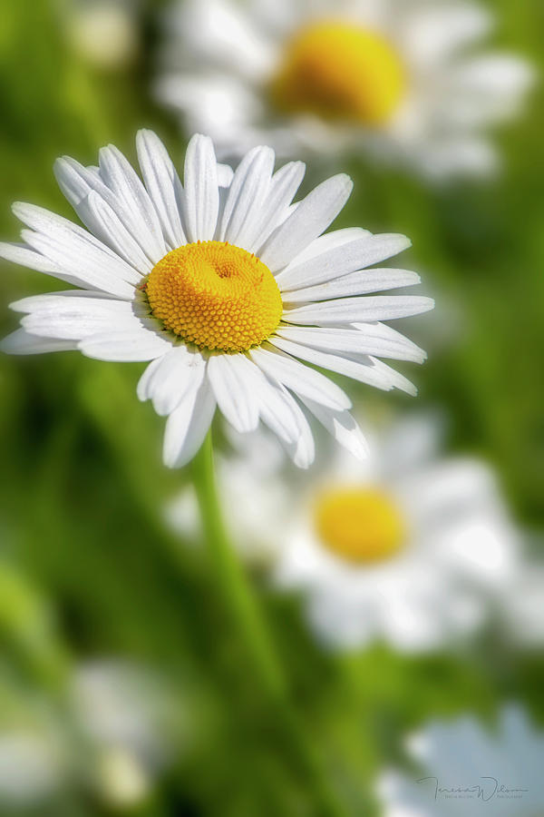 Flower Photograph - Daisy Dreams By Tl Wilson Photography by Teresa Wilson