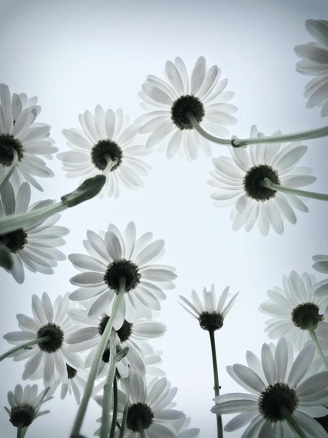 Daisy Flowers Rear View Photograph by Photograph By Anastasiya Fursova