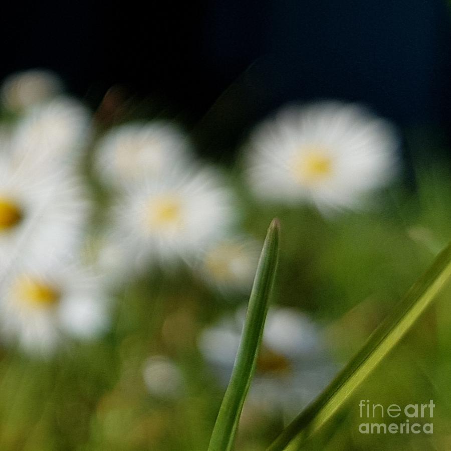 Daisy landscape by Paola Baroni