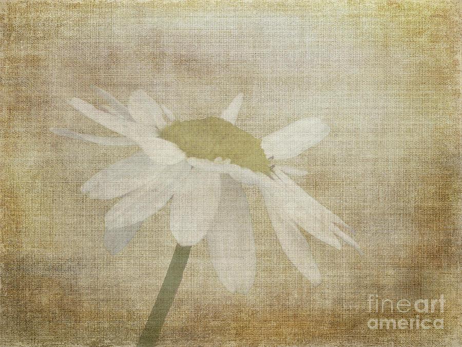Daisy by Lynn Bolt