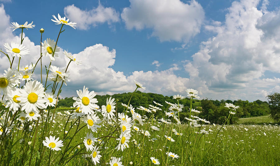 Daisy Meadow Summer Pastoral Photograph by Fotovoyager
