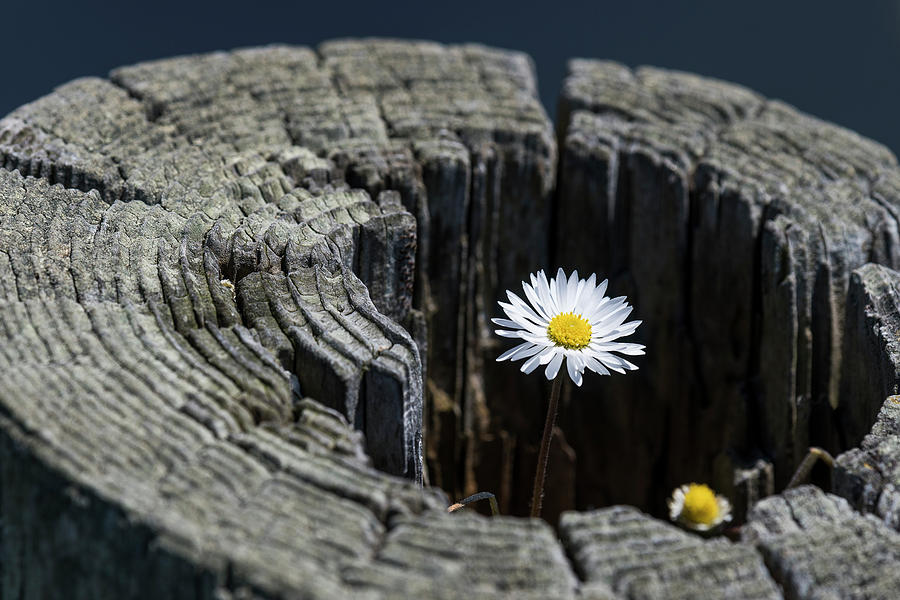 Daisy on Fence Post by Robert Potts