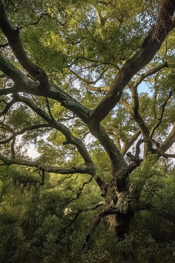 Daley Ranch - Bobcat Trail Giant Oak by Alexander Kunz