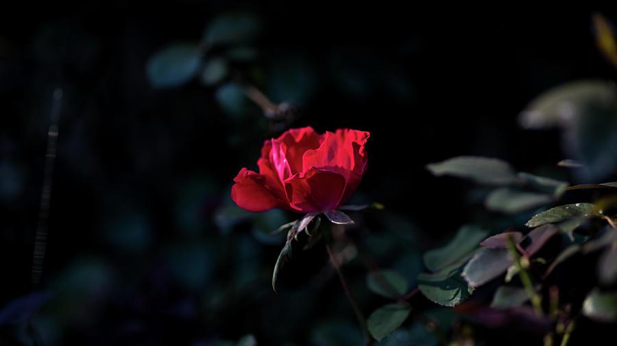 Damp Rose After a Rain by James-Allen