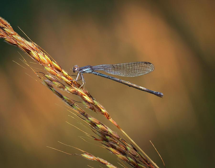 Damselfly Hunting in the Evening Sunlight by David Lamb