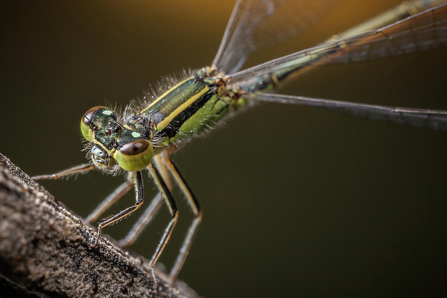 Damselfly On The Diagonal Photograph by Stavros Markopoulos