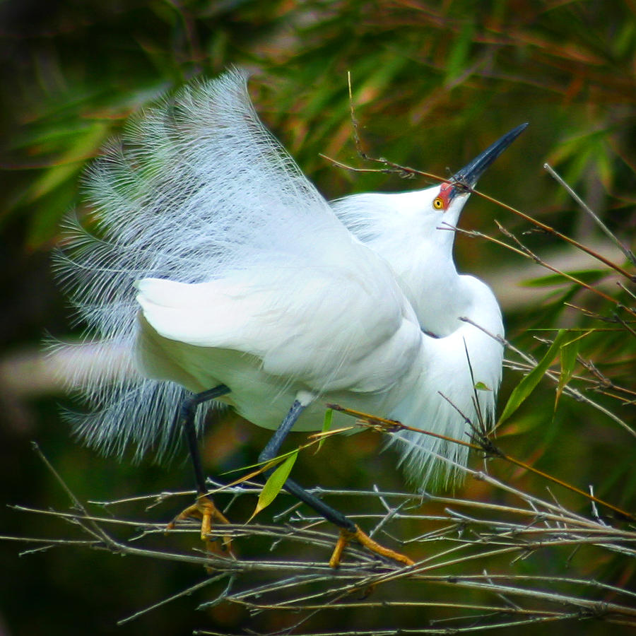 Dancing Egret by Anthony Jones