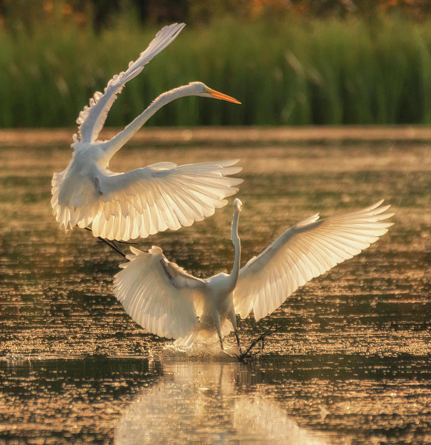 Dancing Egrets  by Richard Kopchock