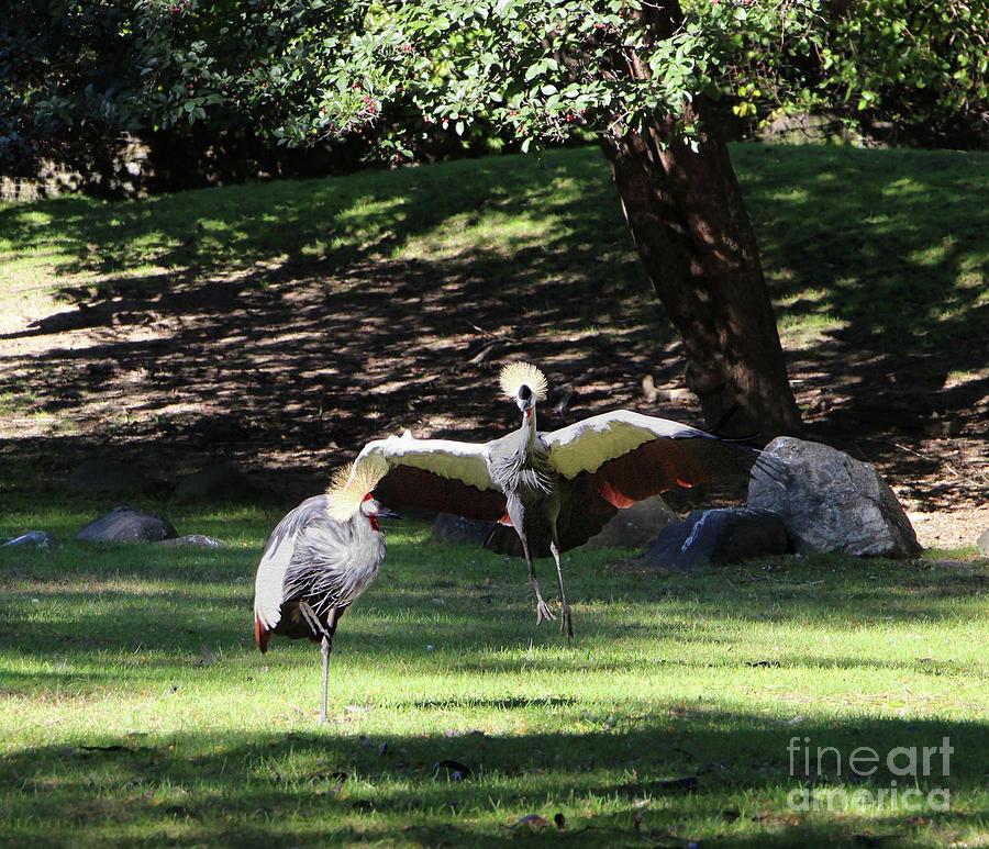 Dancing Grey Crowned Cranes by Sandra Huston