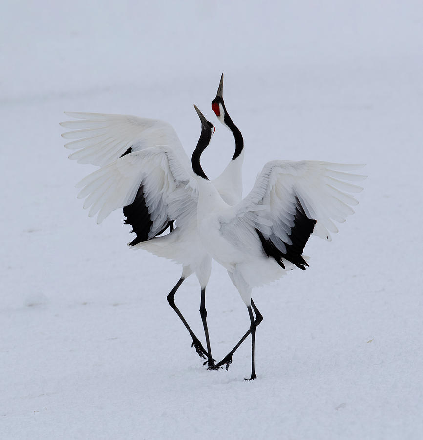 Red Photograph - Dancing In The Snow. by Cheng Chang
