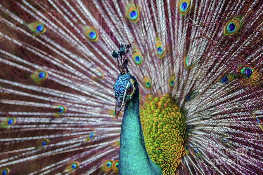 Dancing Indian Peacock  by Awais Yaqub