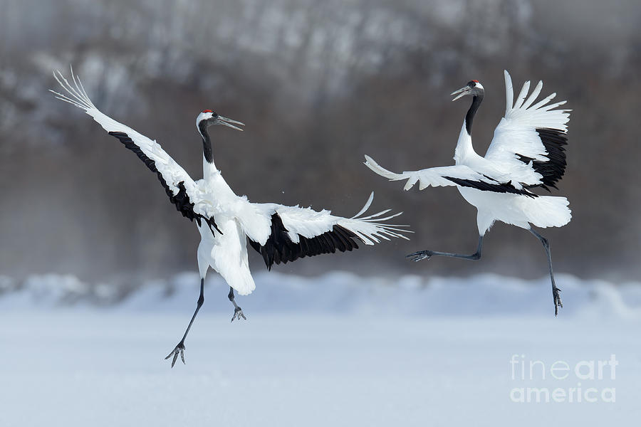 Love Photograph - Dancing Pair Of Red-crowned Cranes With by Ondrej Prosicky