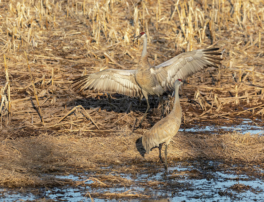 Dancing Sandhill Crane 2019-3 by Thomas Young