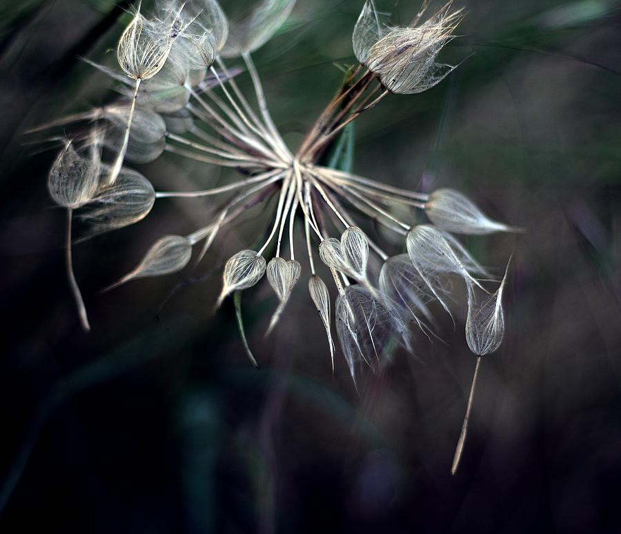 Dandelion Photograph by By Julie Mcinnes