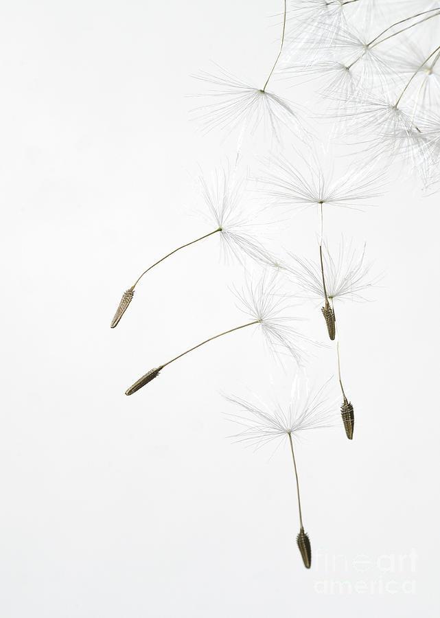 Dandelion Cascade by Janet Burdon