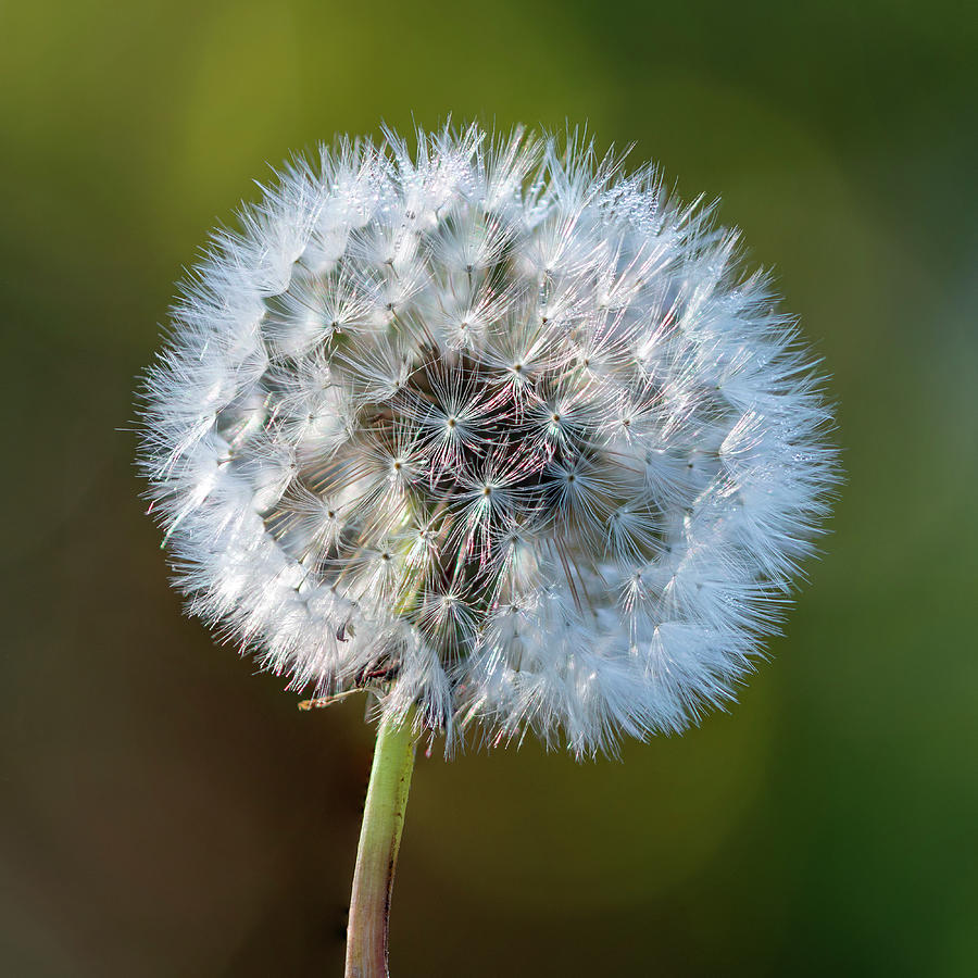 Dandelion Photograph - Dandelion Clock Square by Steev Stamford