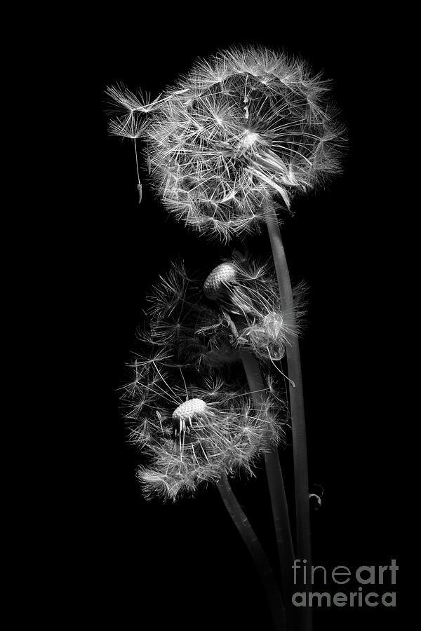 Dandelion Clocks Monochrome by Ann Garrett