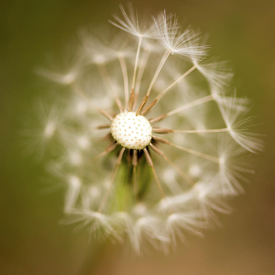 Dandelion Days Square by Terry DeLuco