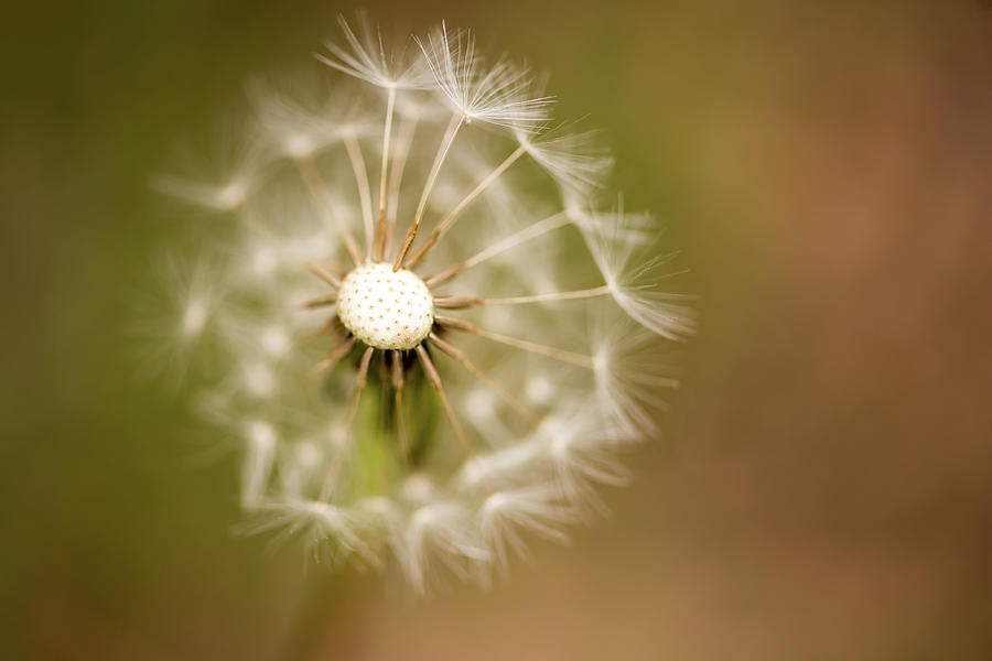Dandelion Days by Terry DeLuco