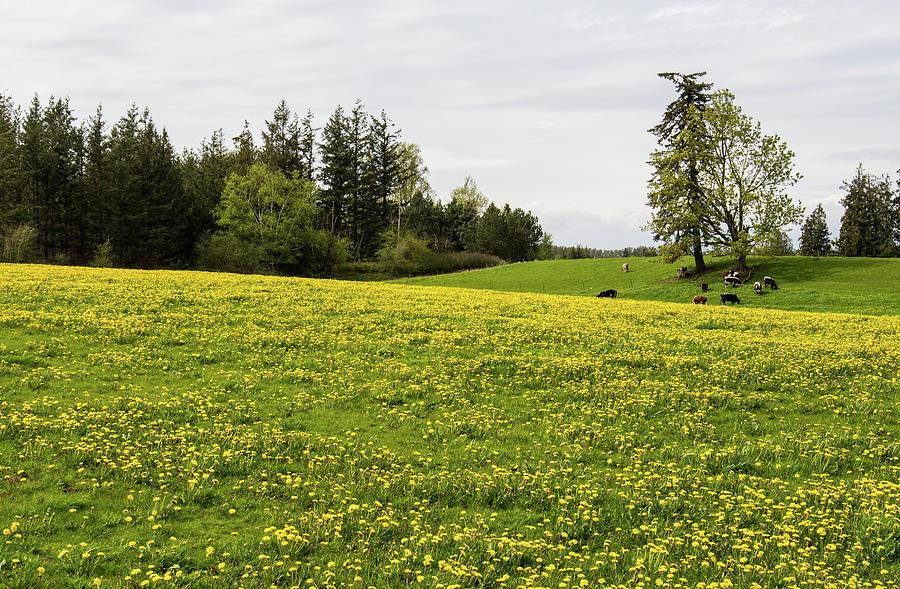 Dandelion Field and Grazing Cows by Tom Cochran