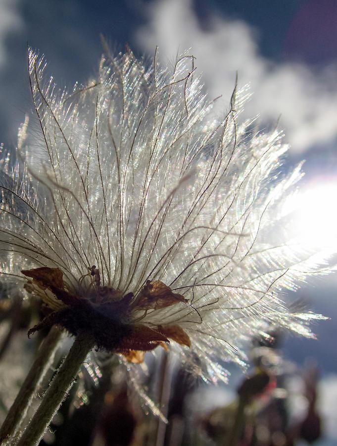 Old Man's Whiskers, Geum triflorum by Karen Rispin
