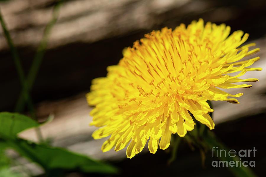 Dandelion in Bloom by JT Lewis