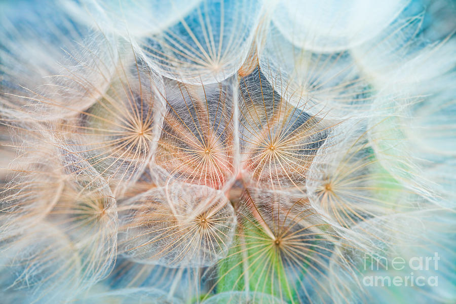 Delicate Photograph - Dandelion Inside,macro Photography by Hofhauser