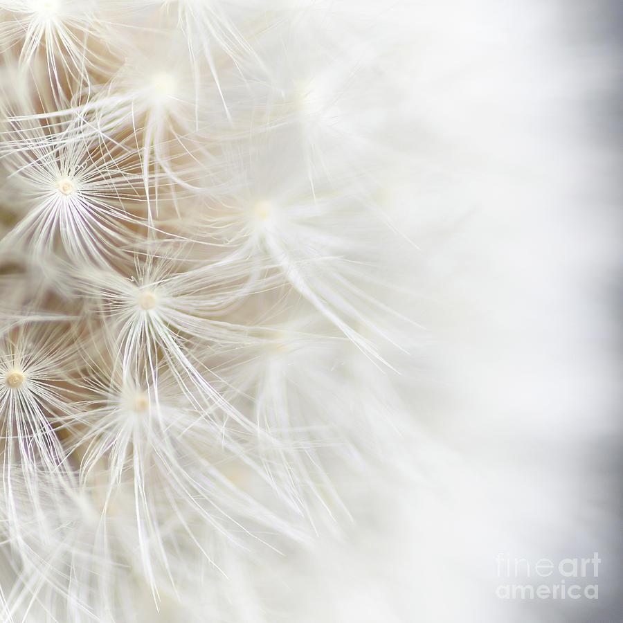 Dandelion by Janet Burdon
