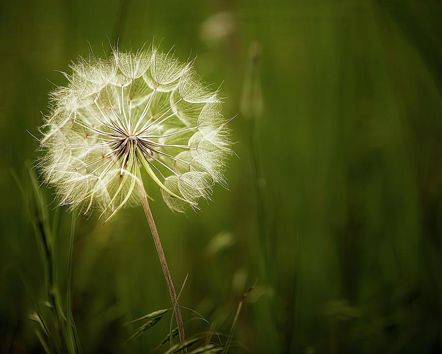 Dandelion by Reynaldo Williams