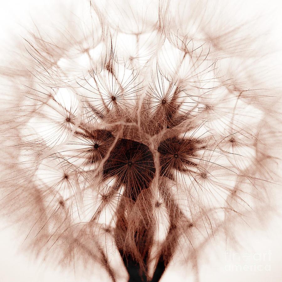 Dandelion Sepia by Shawn Jeffries
