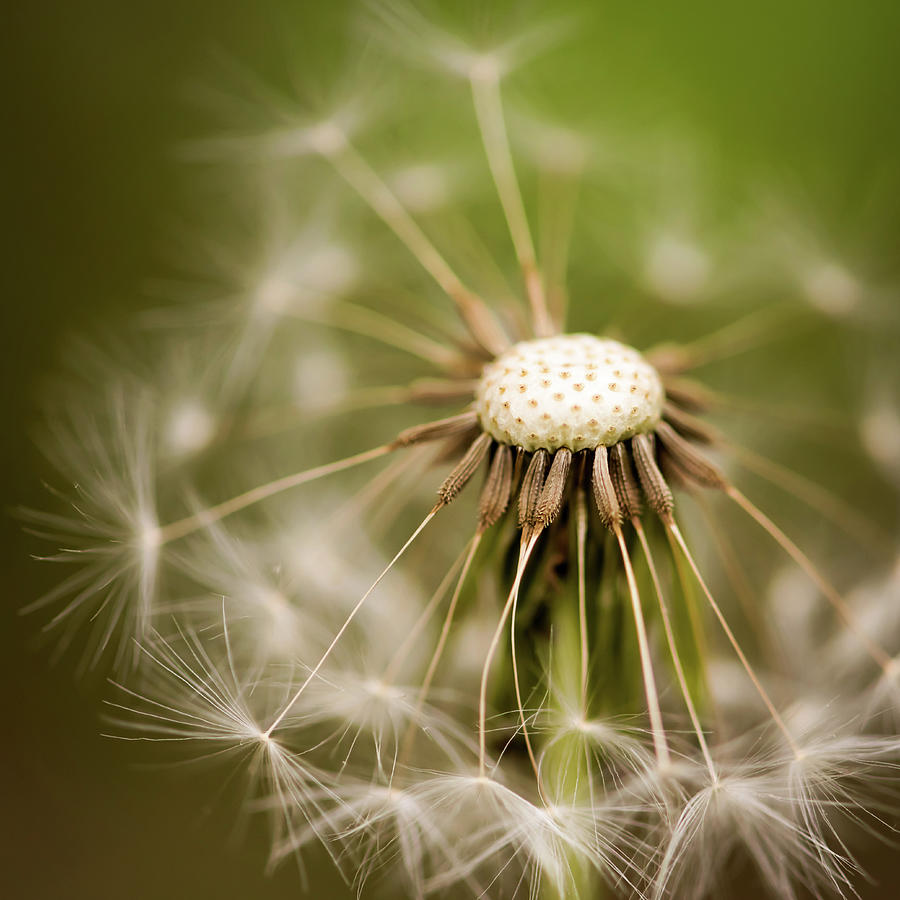 Dandelion Seeds Square by Terry DeLuco