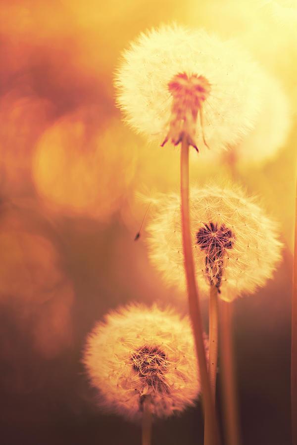 Dandelion Summer Photograph by Lordrunar