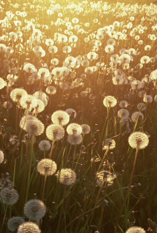 Dandelion Taraxacum Officinale Sunset Photograph by Stuart Westmorland