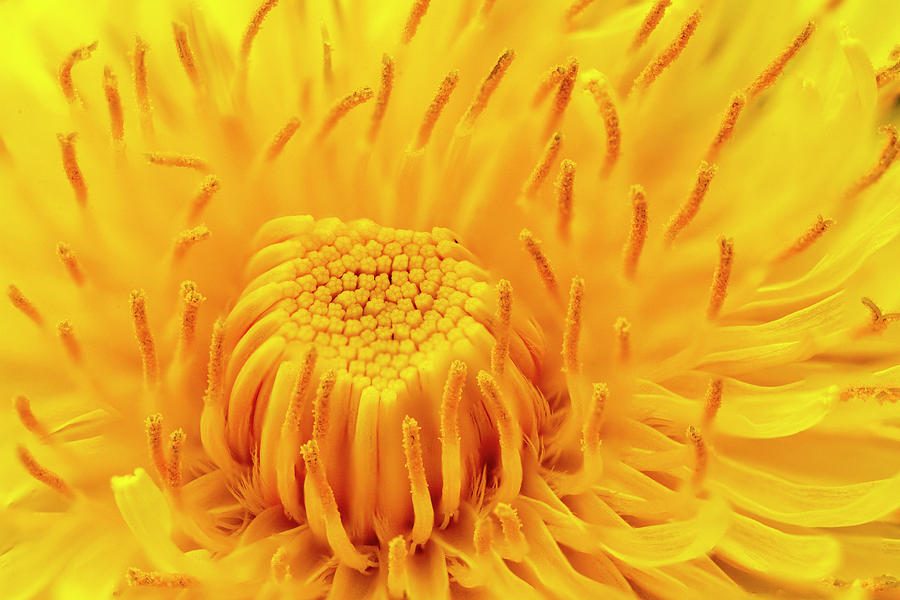 Dandelion flower by Paul Cowan