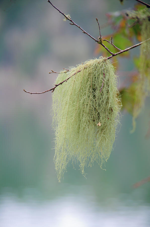 Dangling Tree Moss by Tikvah's Hope