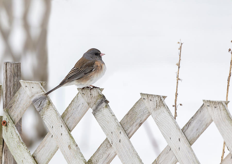 Dark-eyed Junco 2019-1 by Thomas Young