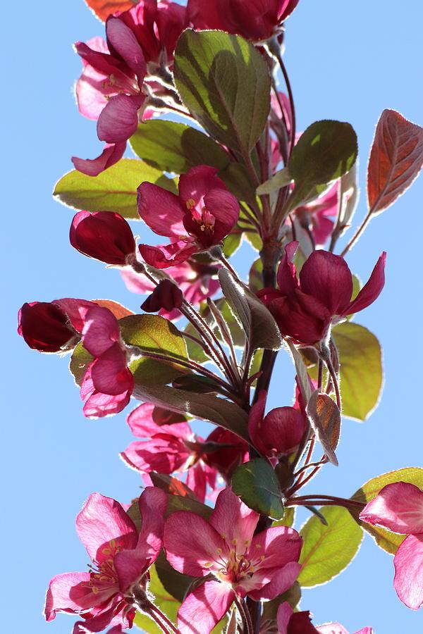 Dark Pink Cherry Blossom Branch by TJ Fox
