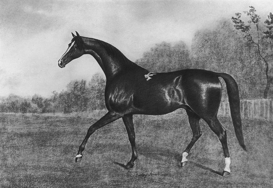Darley Arabian Photograph by Hulton Archive