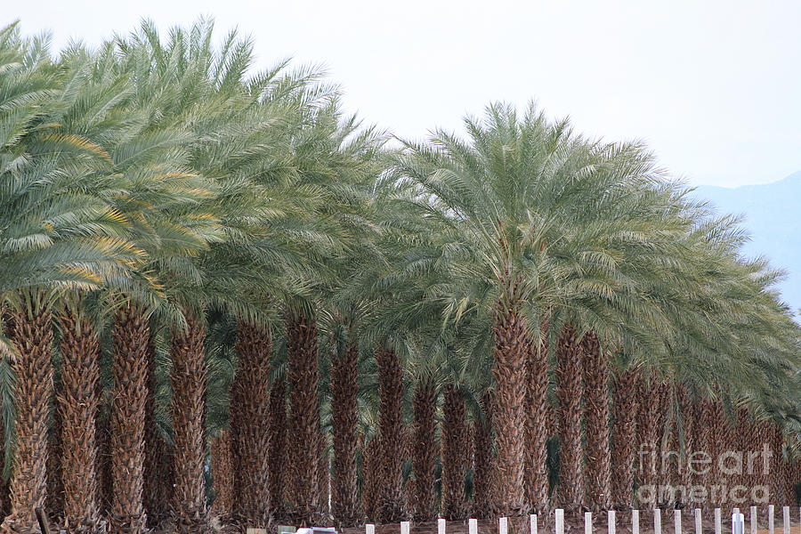 Date Palms Near Mecca California 3 by Colleen Cornelius