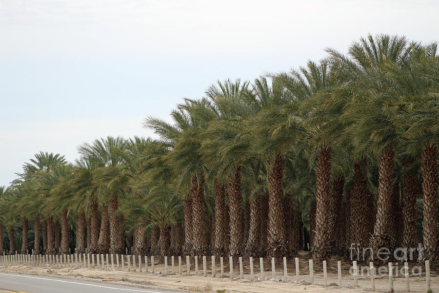 Date Palms Near Mecca California by Colleen Cornelius