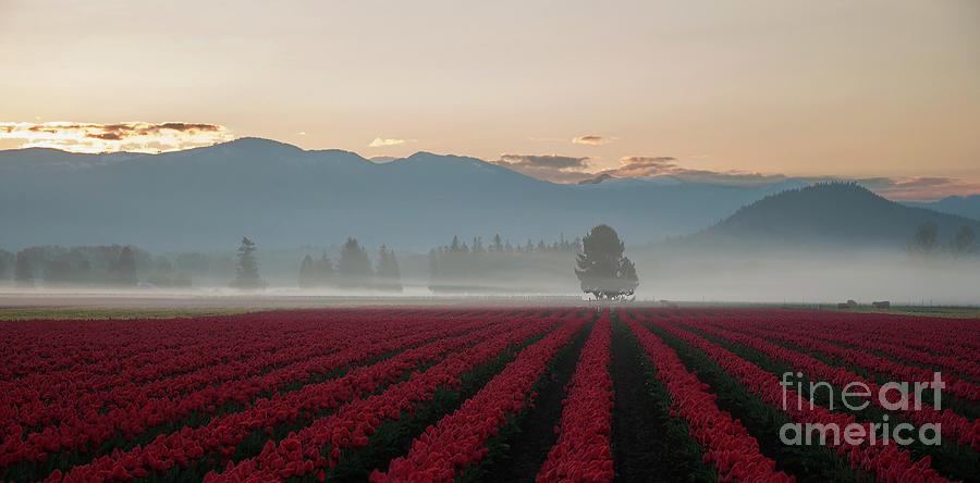 Dawn Breaking over Red Tulip Fields by Valerie Garner