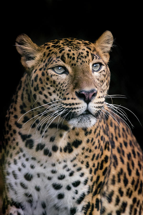 Leopard Photograph - Day dreamer by RT Photography