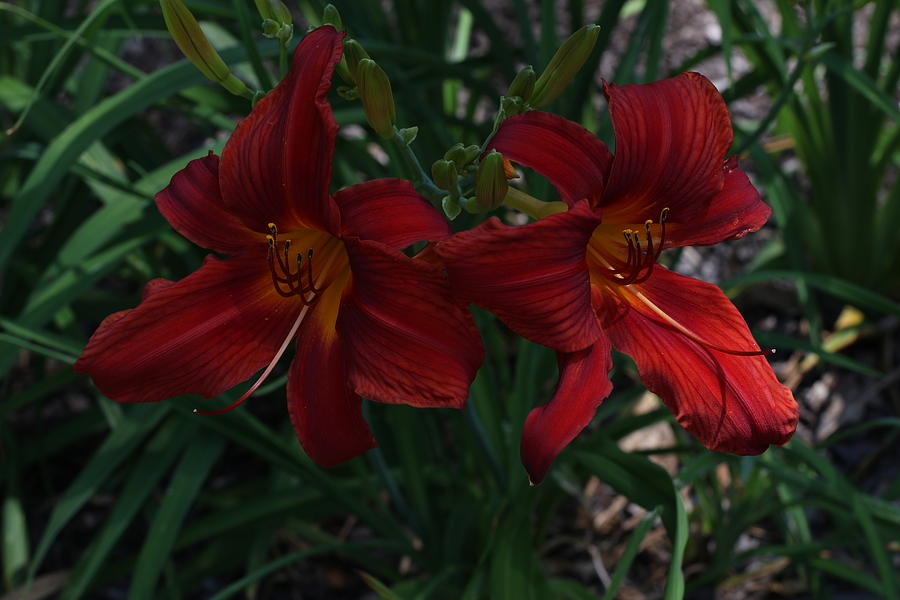 Flowers Photograph - Day Lilly by Gerald Mitchell