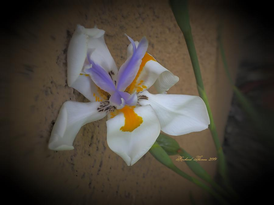 Day Lily Resting by Richard Thomas
