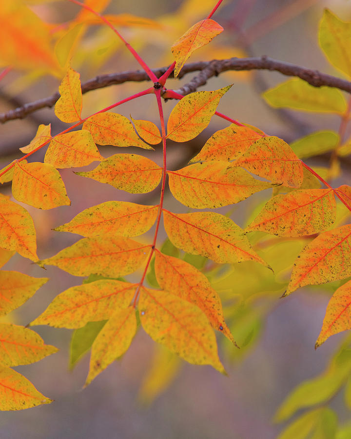 DDP DJD Autumn Leaves 4430 by David Drew