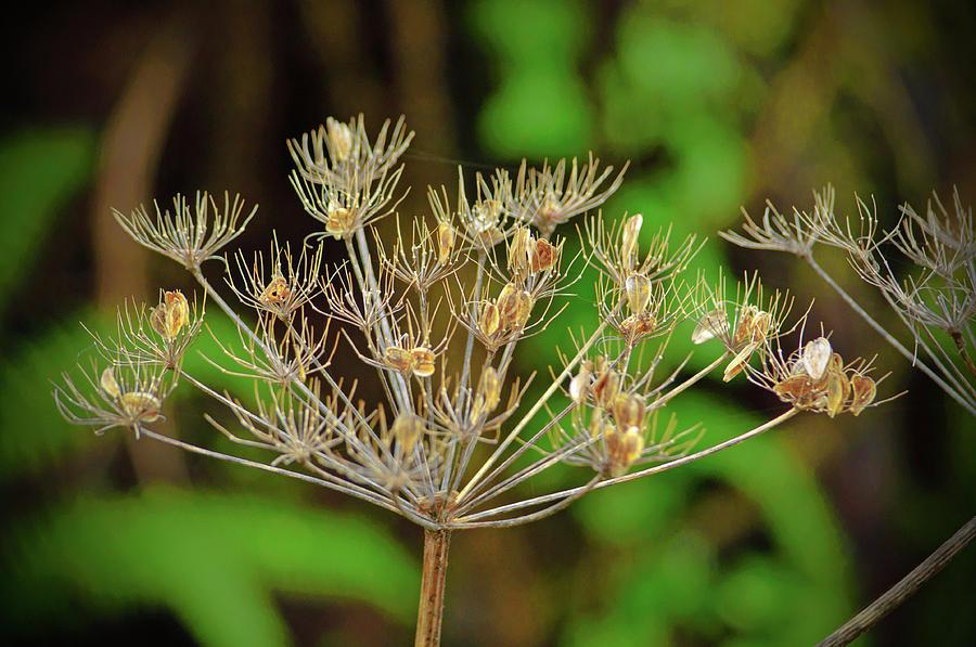 Dead Hemlock Flower and Seeds by Tikvah's Hope