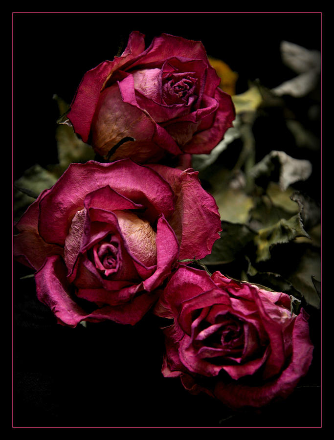 Dead Roses Photograph by Décostyle Balexia87